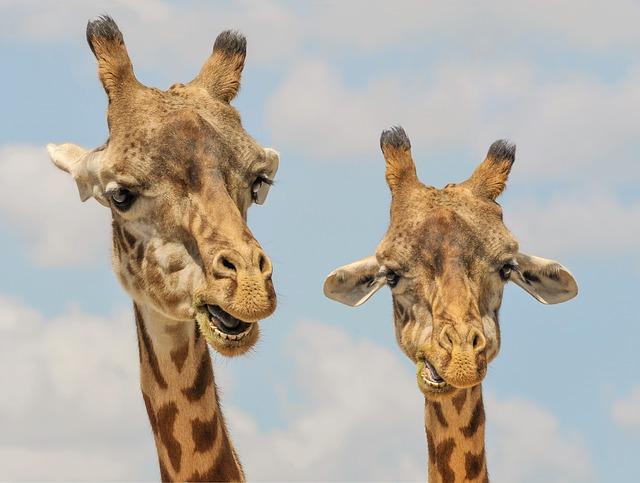 zoo żyrafy